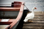 stockvault-goose133182