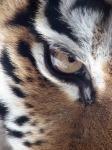 tiger-60602_640